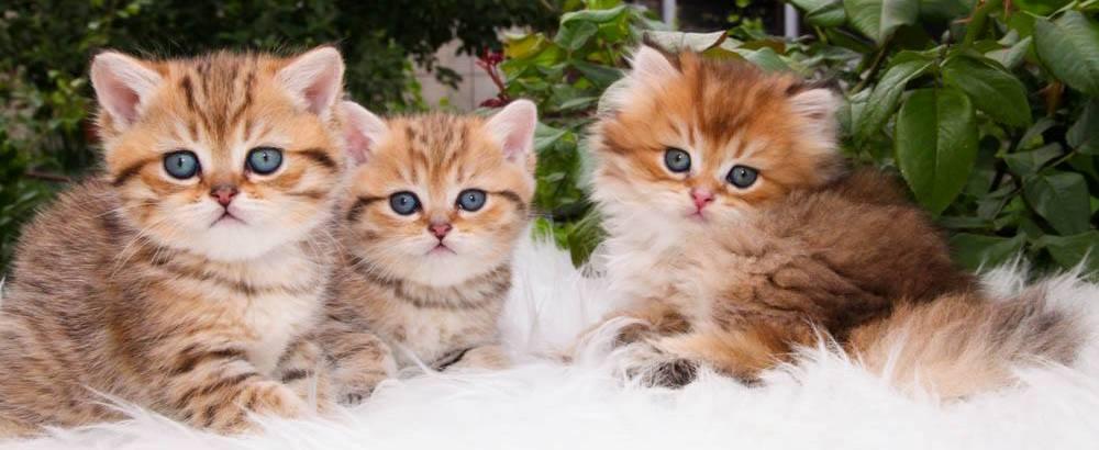 купить короткошерсного котенка в москве